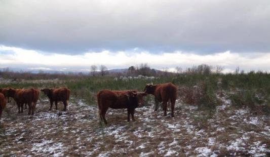 Francusko govedo Salers pokazalo se idealnim za sustav krava-tele i odlično se pokazalo u najtežim hrvatskim uvjetima