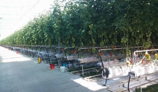 U stakleniku u Mitrovcu postižu i do 20 kilograma rajčice po biljci